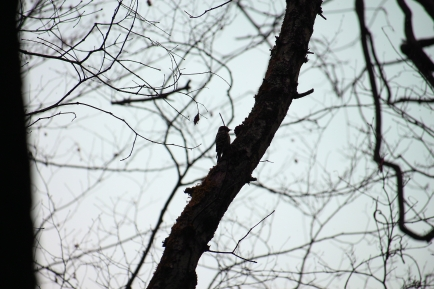 Woodpeckers in the silence
